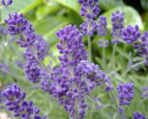 English_Lavender1