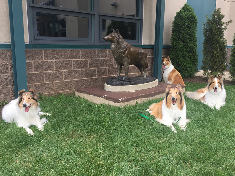 Family reunion: Lassie and (l to r) Jacey, Birdie, Honey, and Skylar. Honey is a 10th generation descendant of Pal, the dog that originally played Lassie. Jacey, Birdie, and Honey are 11th generation offspring.